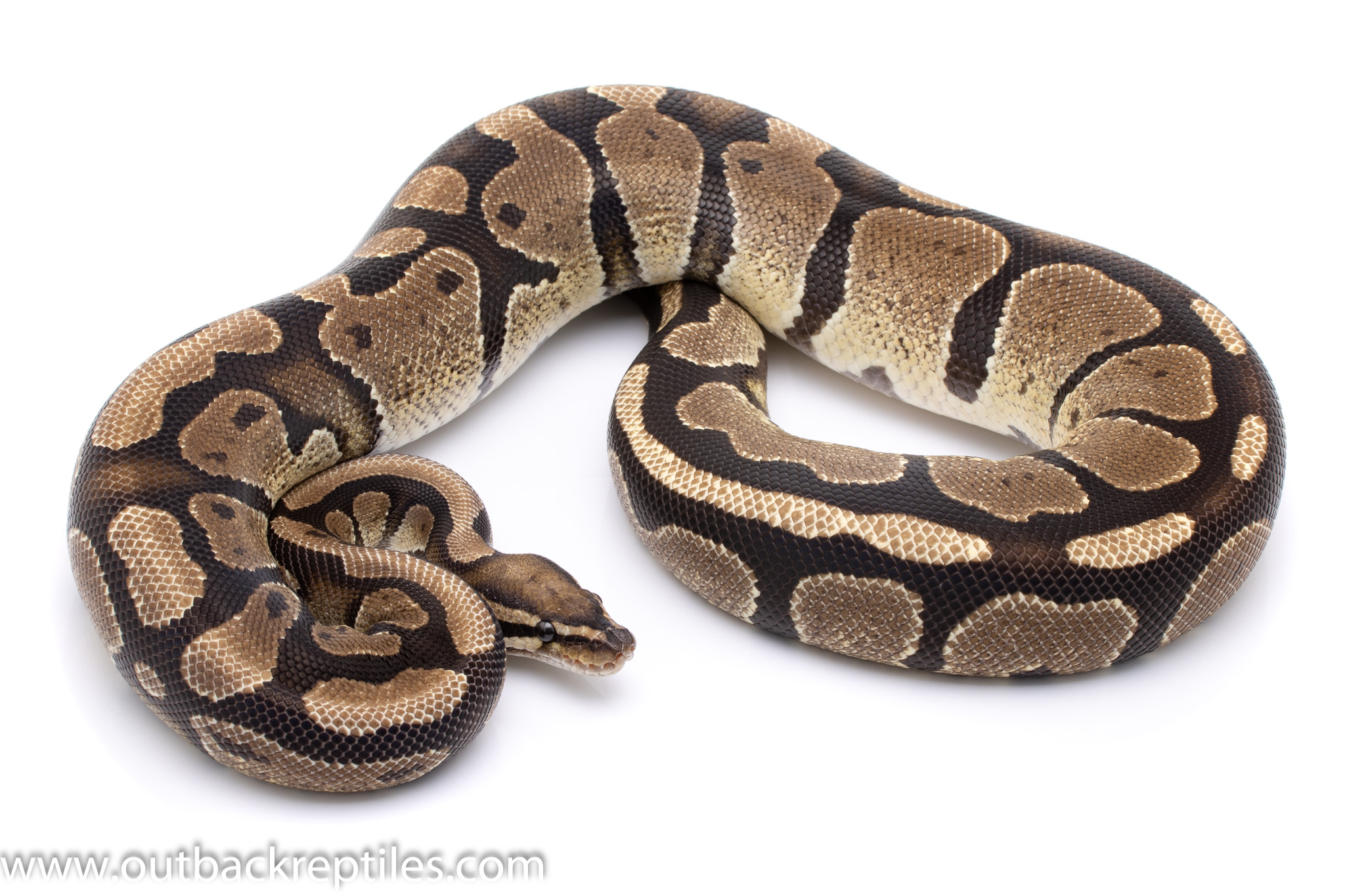 het pied ball python for sale