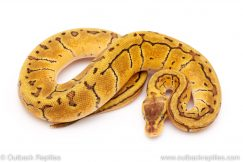 Lemon Blast het Desert GHost ball python for sale