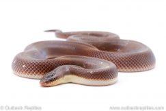 new world python loxocemus bicolor