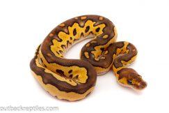 mojave clown ball python for sale