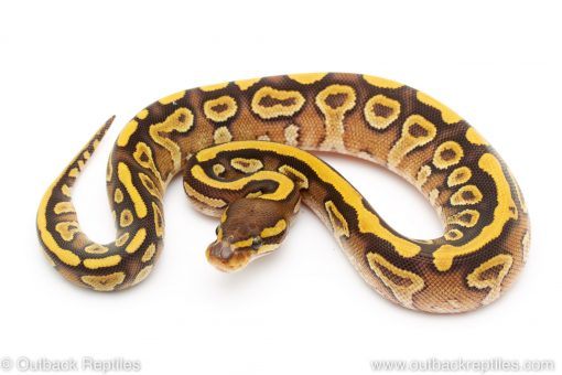 mojave yellow belly ball python for sale