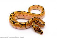 Orange Dream spider ball python for sale