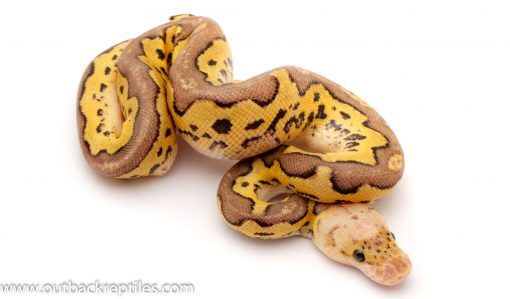 pastave clown ball python for sale