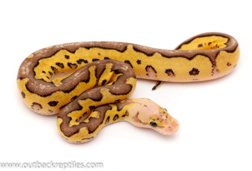 pastave clown male ball python for sale