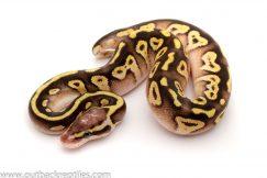 Pastave het clown ball python for sale