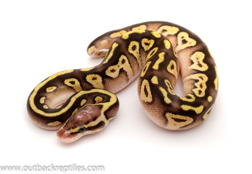 Pastave het clown ball python for sale