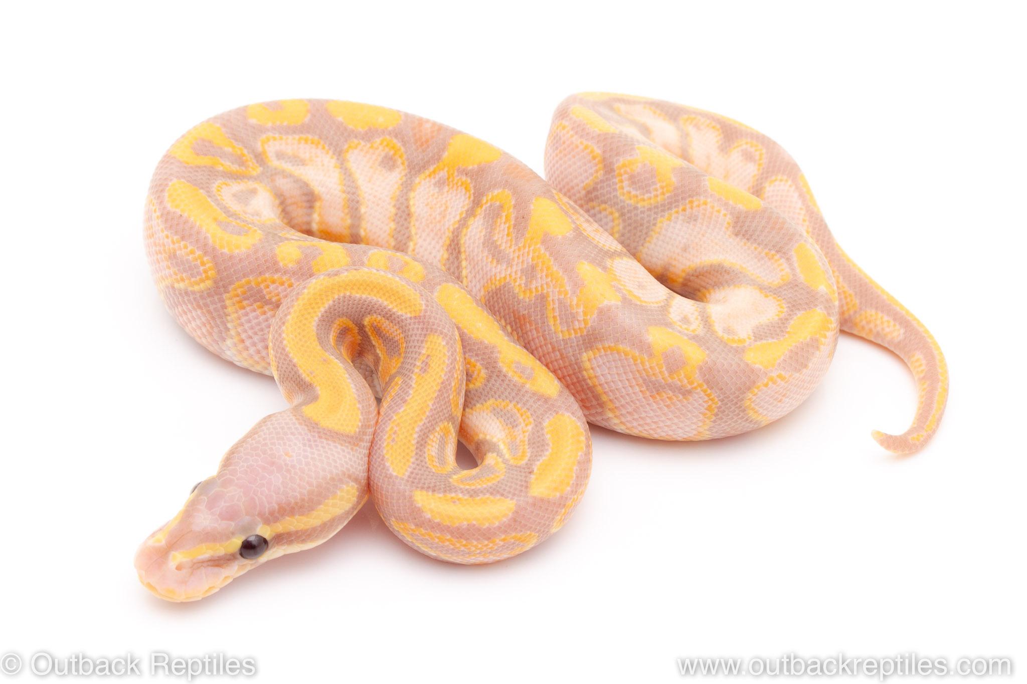 pastel banana ball python for sale