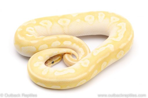 Pastel crystal ball pythons for sale