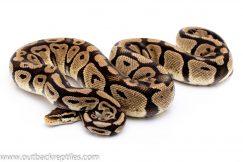 Pastel dh g-stripe axanthic ball python for sale