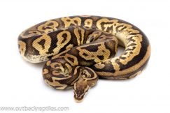 pastel leopard het pied ball python for sale