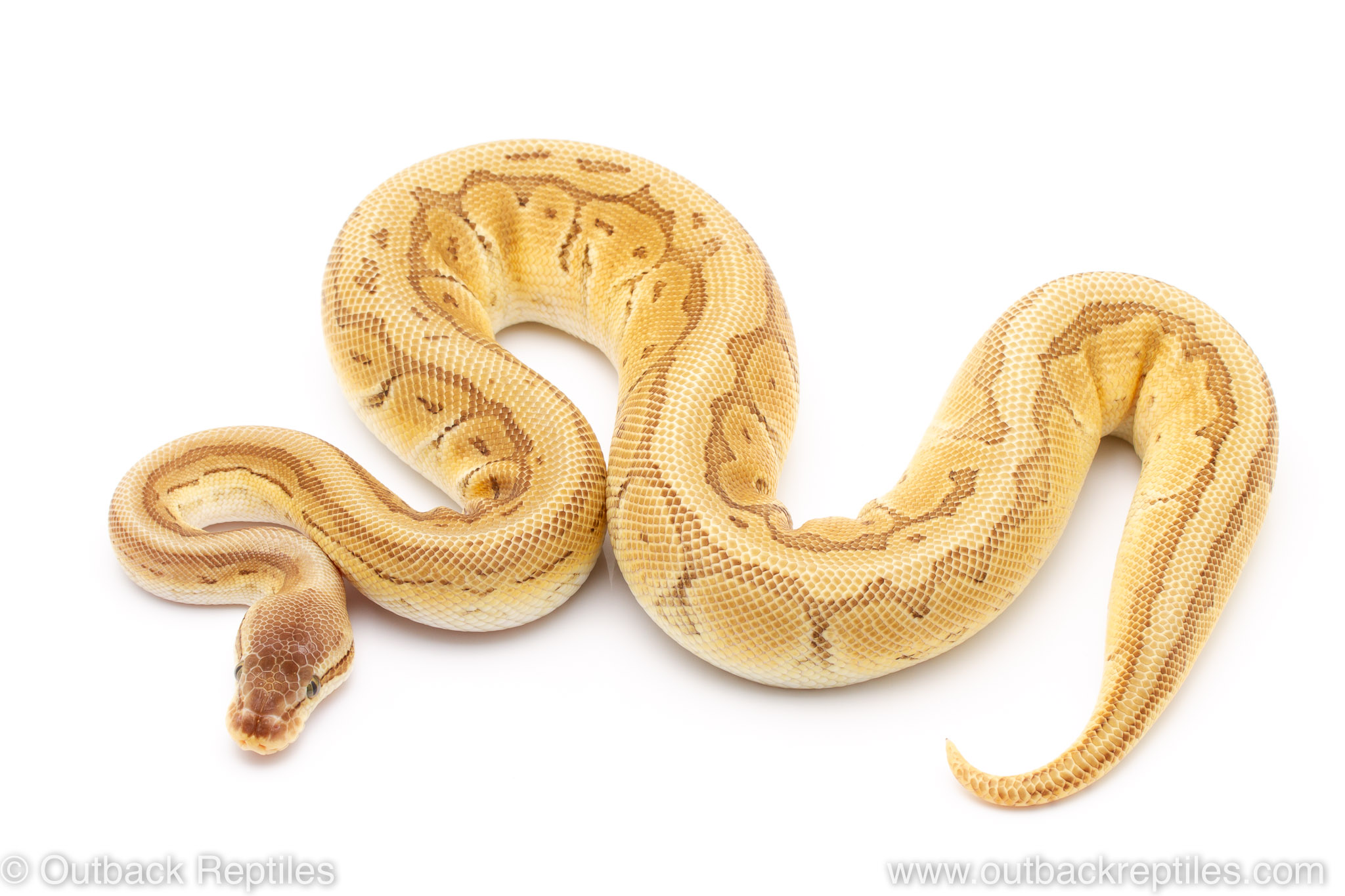 Orange Dream Pastel Lesser Pinstripe ball pythons for sale