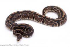 Sable het pied ball python for sale