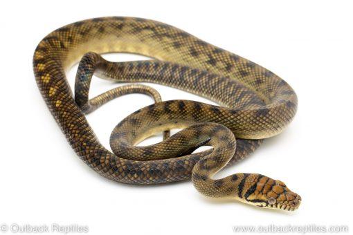 sorong barneck scrub python for sale