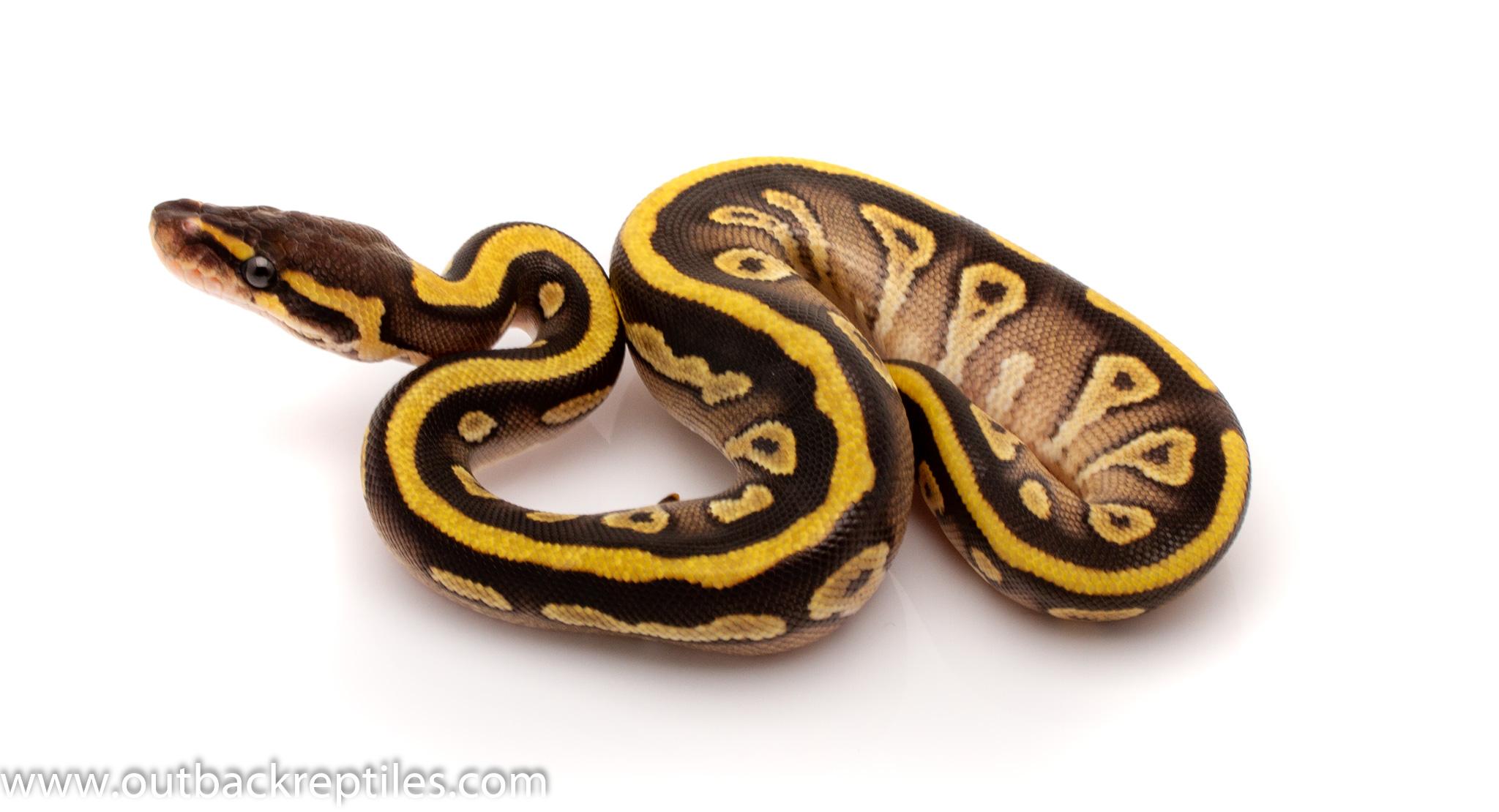 striped mojave ball python for sale
