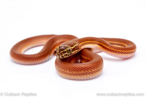 house snake for sale