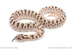 super arctic hognose snake for sale