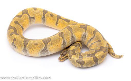 super enchi ghost adult breeder ball python for sale