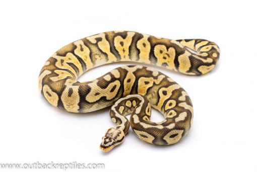 Super Pastel scaleless head adult breeder ball python for sale