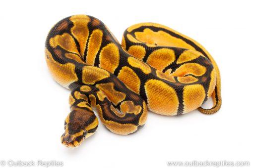 super orange dream ball python for sale