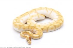 Ghost enchi butter bee ball python for sale