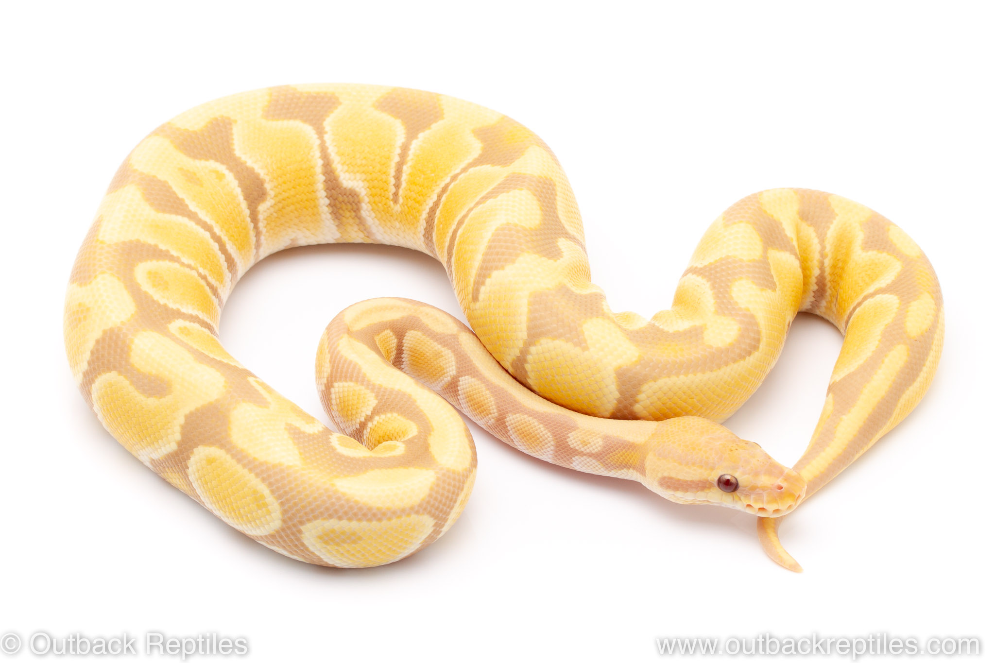 toffee candy ball pythons for sale
