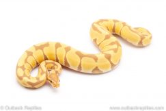 toffee pos het VPI Axanthic ball pythons for sale