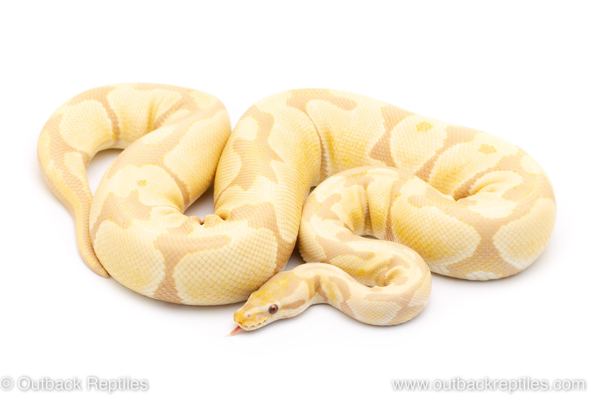 Toffino ball python for sale