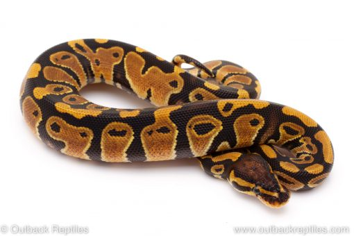 Triple het lavender clown pied ball python for sale