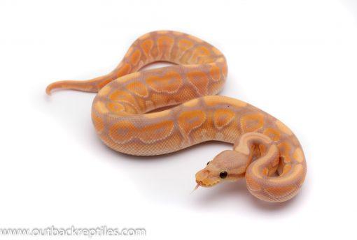 Banana cinnamon het clown ball python for sale