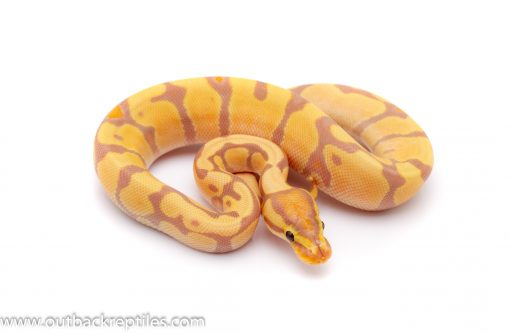 Banana enchi het clown ball python for sale