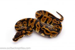 leopard het pied ball python for sale