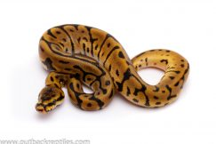 leopard spider het pied ball python for sale