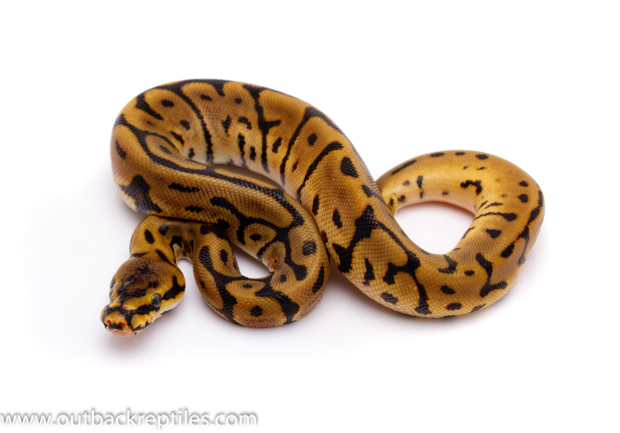 leopard spider het pied ball python for sale
