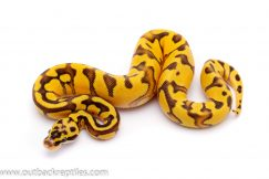pastel enchi fire ball python for sale