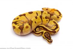 super enchi fire ball python for sale
