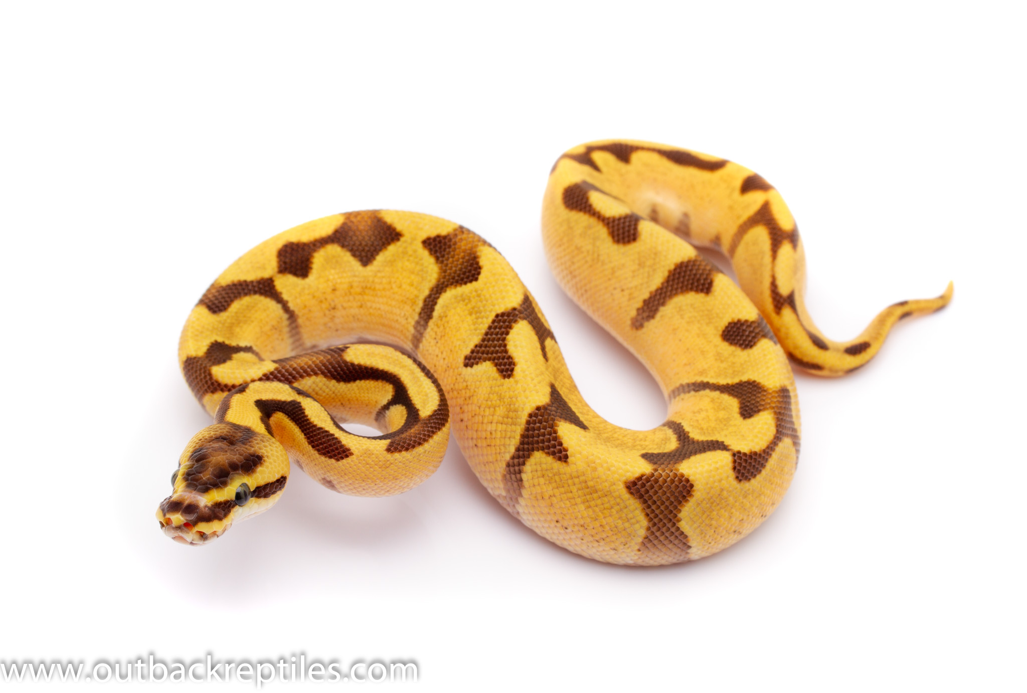 super enchi fire ball python for sale