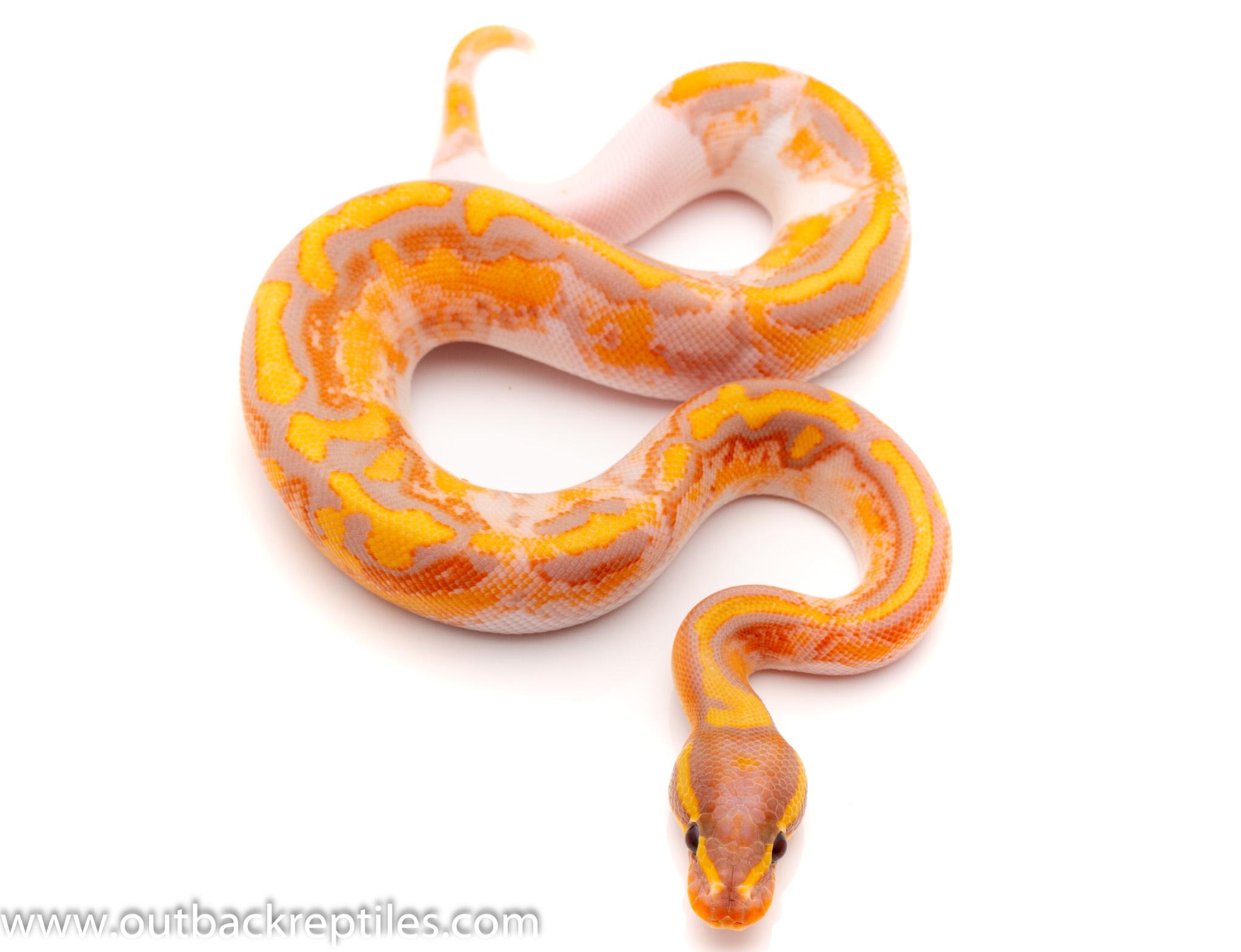 banana pied ball python for sale