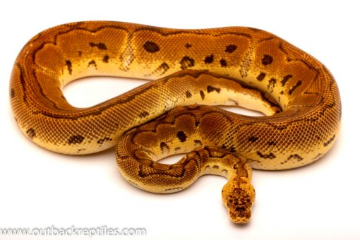 pastel clown ball python for sale