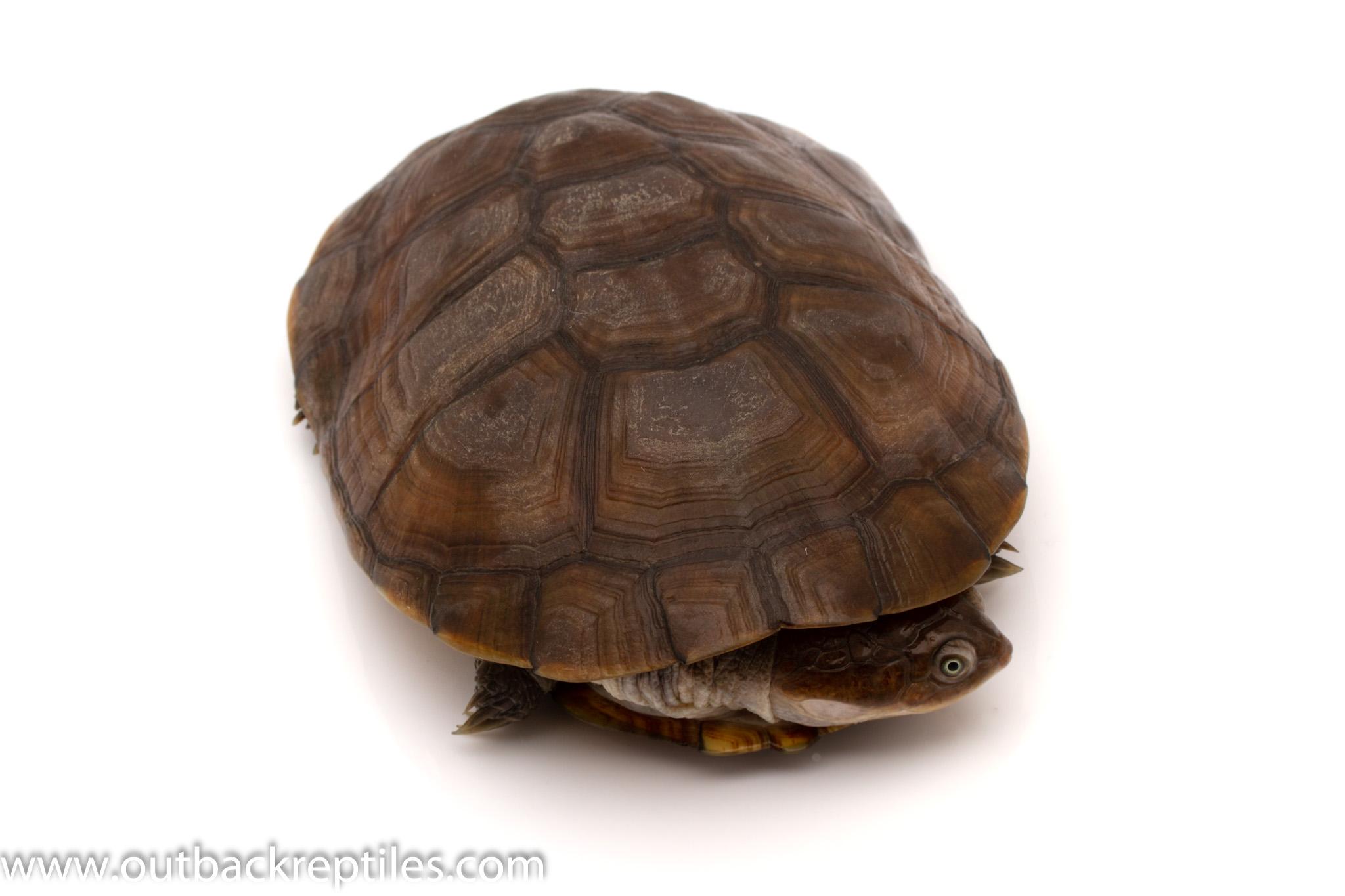 african sideneck turtles for sale