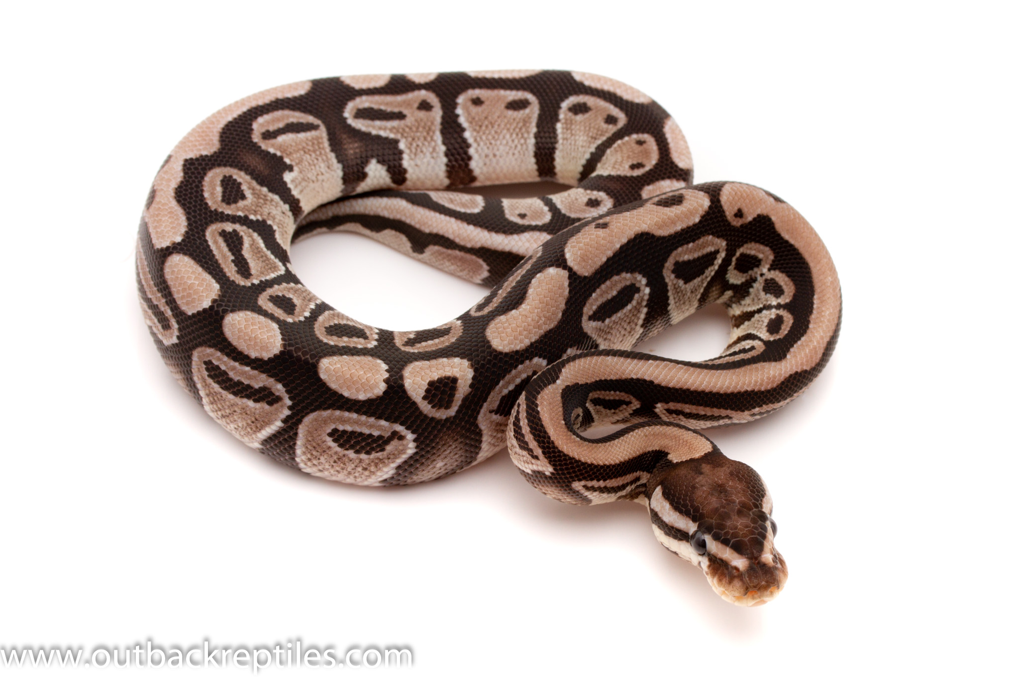 axanthic ball python for sale