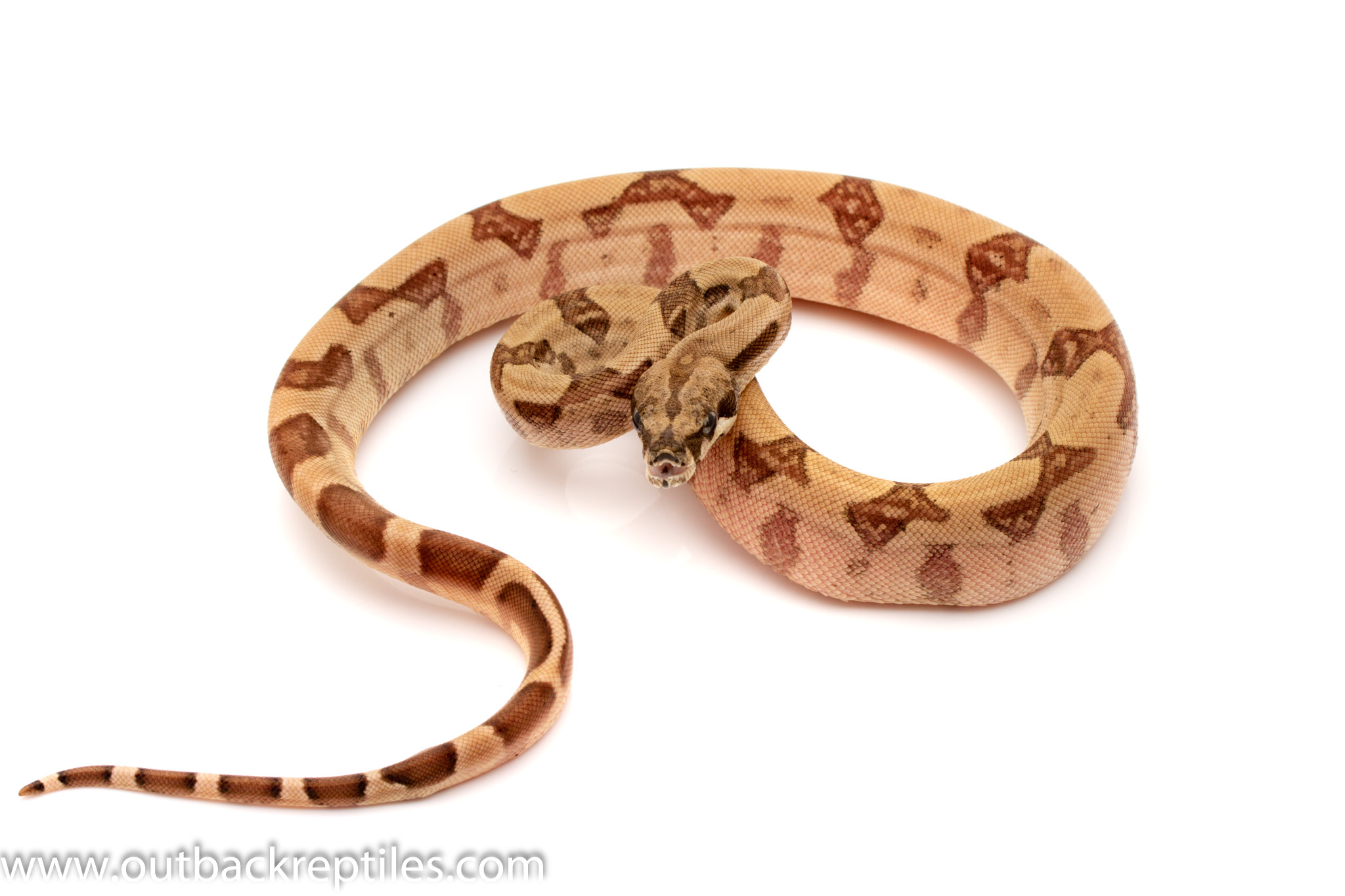 ghost columbian red tail boa for sale