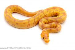 Banana Clown Ball python for sale