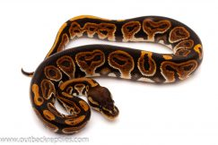 black pastel ball python for sale
