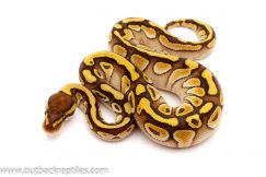 butter het clown ball python for sale