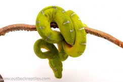 emerald tree boa for sale