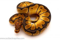 clown male ball python for sale