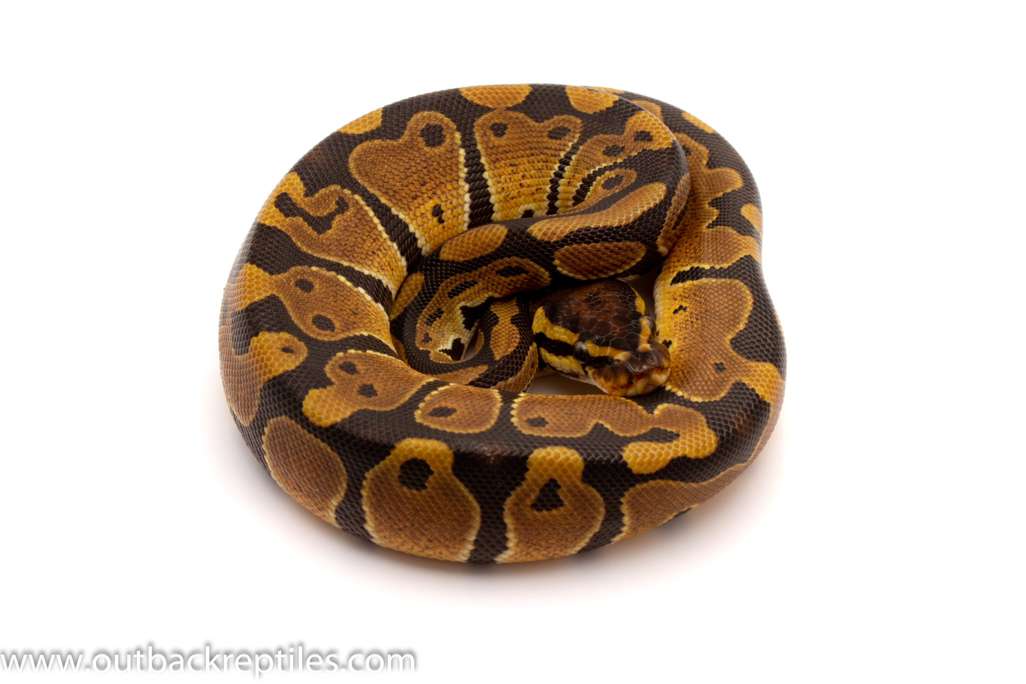 dh ghost pied ball python for sale