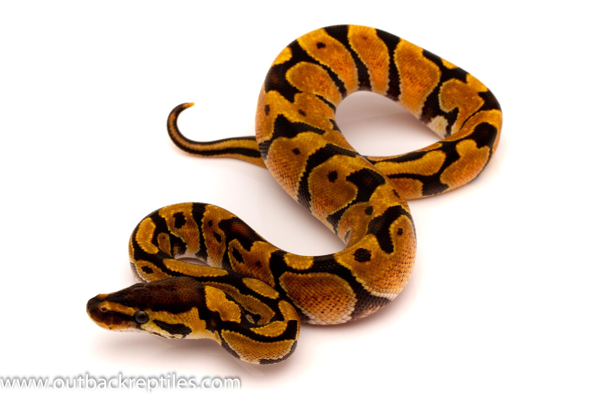 enchi female ball python for sale