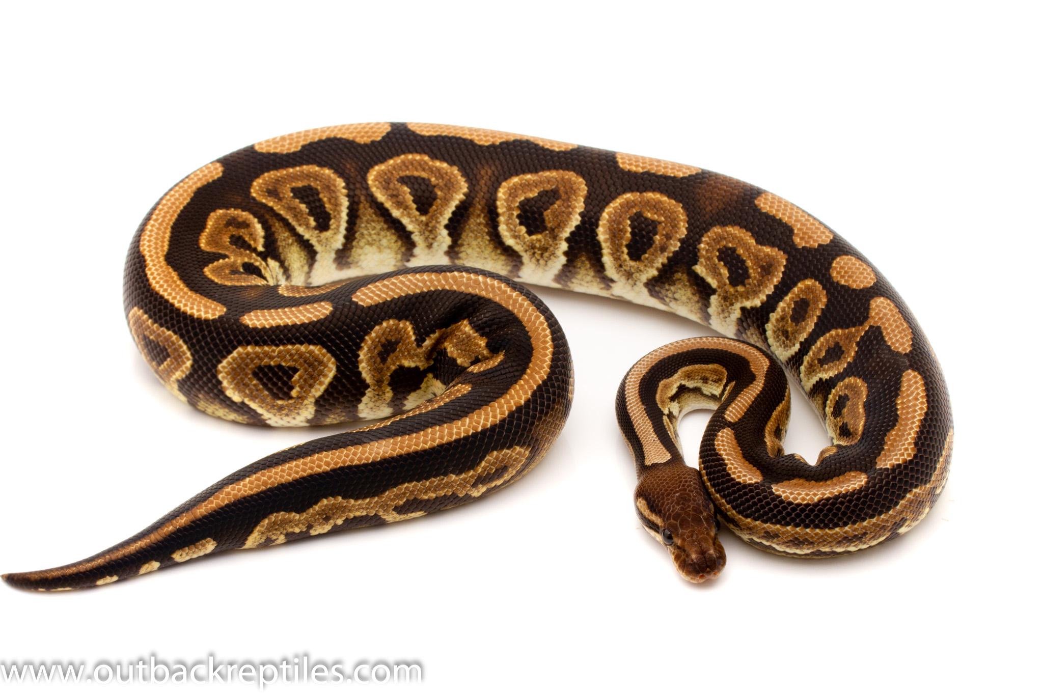 Black Pastel ball python for sale