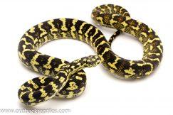 jungle carpet python for sale
